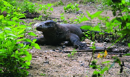 komodo dragon coral expeditions