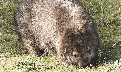 wombat-maria-island-coral-expeditions