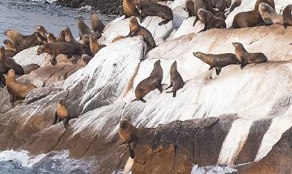 Seals ille des phoques
