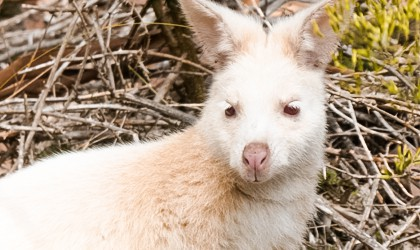 White Wallaby Tasmania
