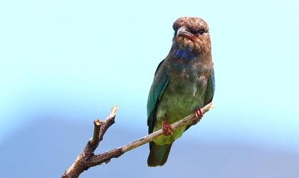 Bird Thursday Island
