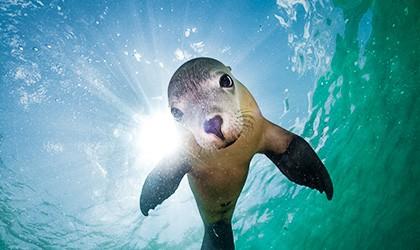 Seal Abrolhos Island