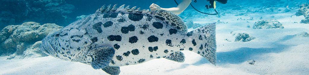 Osprey Reef, Queensland potato cod