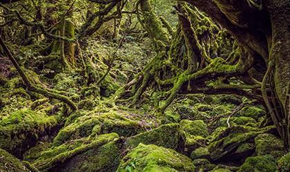 cedar forests TH