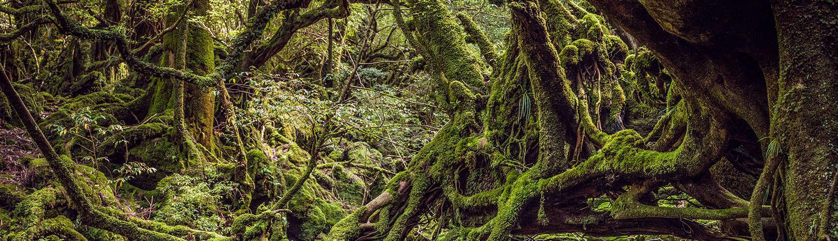 cedar forests