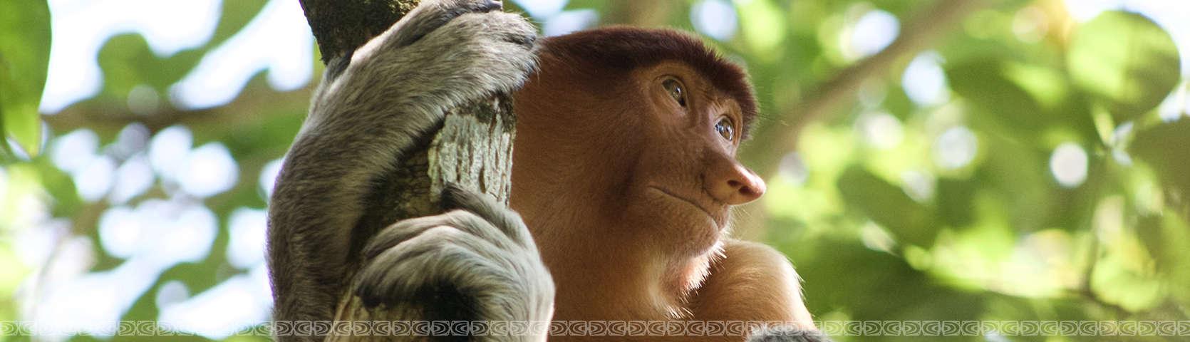 proboscis monkeys 2