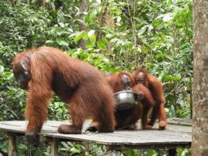 Orangutans at Tanjung Puting