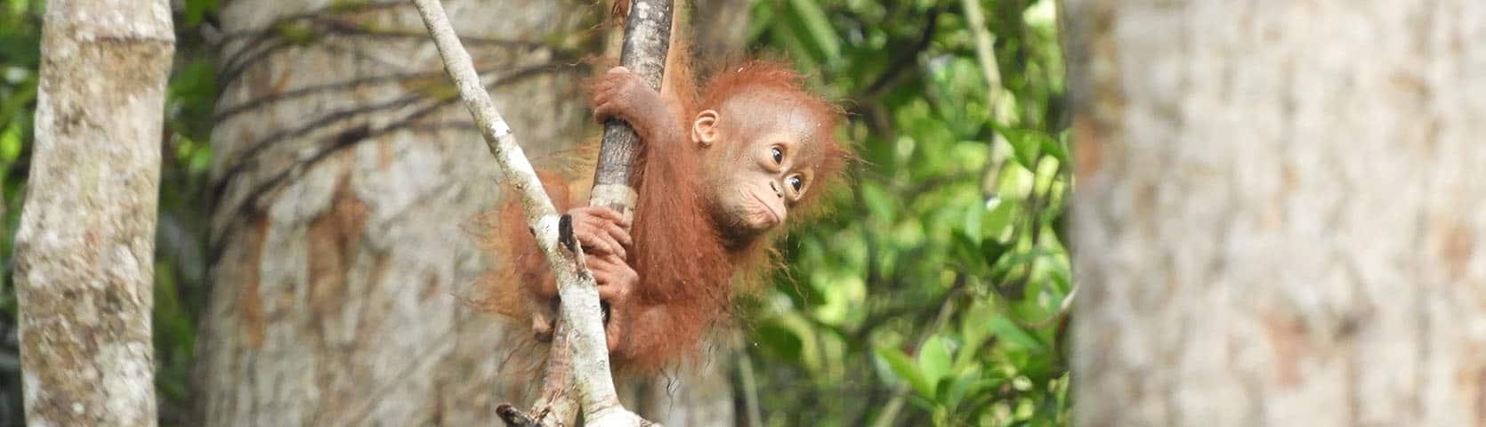 Gary Shapiro Orangutans