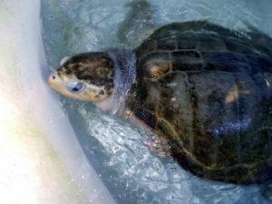 Lou - Turtle Rescue Fitzroy Island