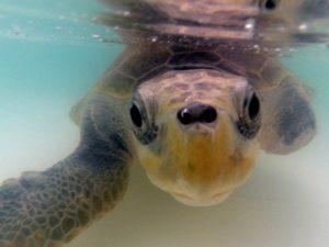Rehab Turtle Fitzroy Island