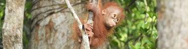 Orangutans Gary Shapiro