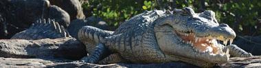 Crocodile - Wildlife of The Kimberley