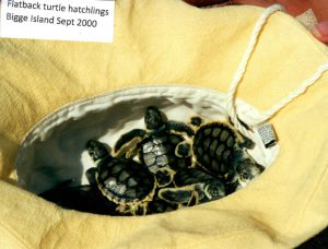Turtle Hatchlings on Biggie Island 2