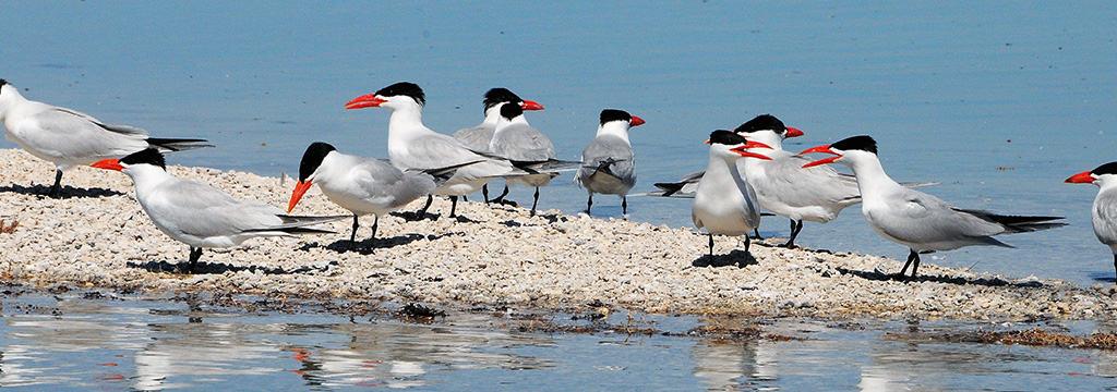 Caspian Terns across the Pilbara