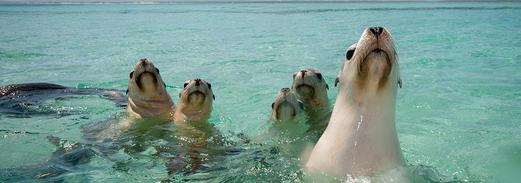 Houtman Abrolhos Island Sea Lions