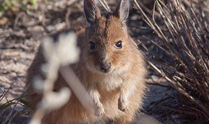 Rufous Hare Wallaby at Montebello