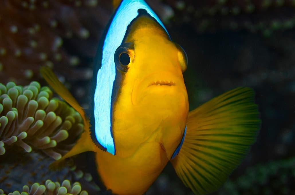 Anemonefish - Darren Jew