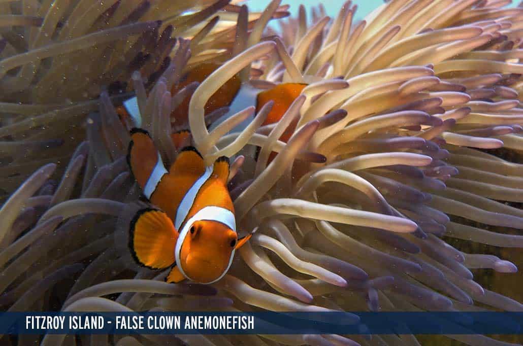 FITZROY ISLAND - FALSE CLOWN ANEMONEFISH