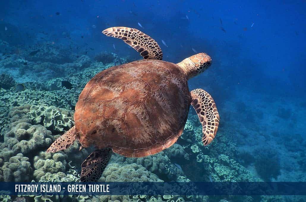 FITZROY ISLAND - GREEN TURTLE-1