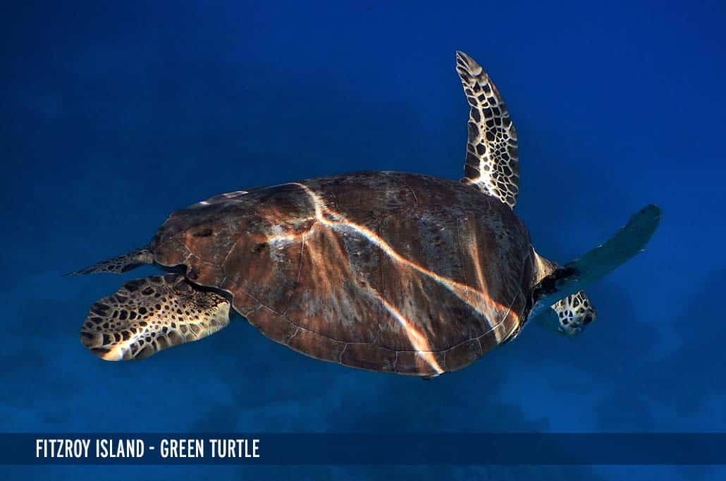 FITZROY ISLAND - GREEN TURTLE-2