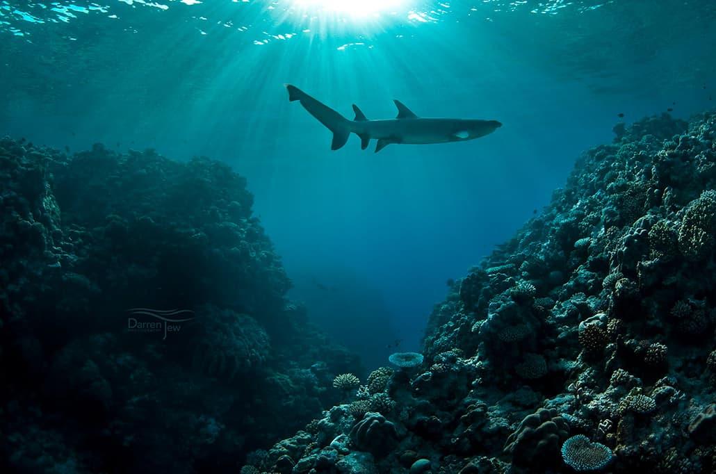 White-tipped reef shark - Darren Jew