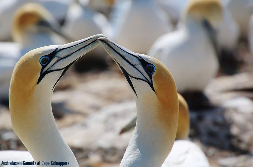 Australasian Gannets at Cape Kidnappers