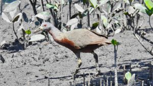 Chestnut Rail on expion to the Kimberley with Coral Expeditions.