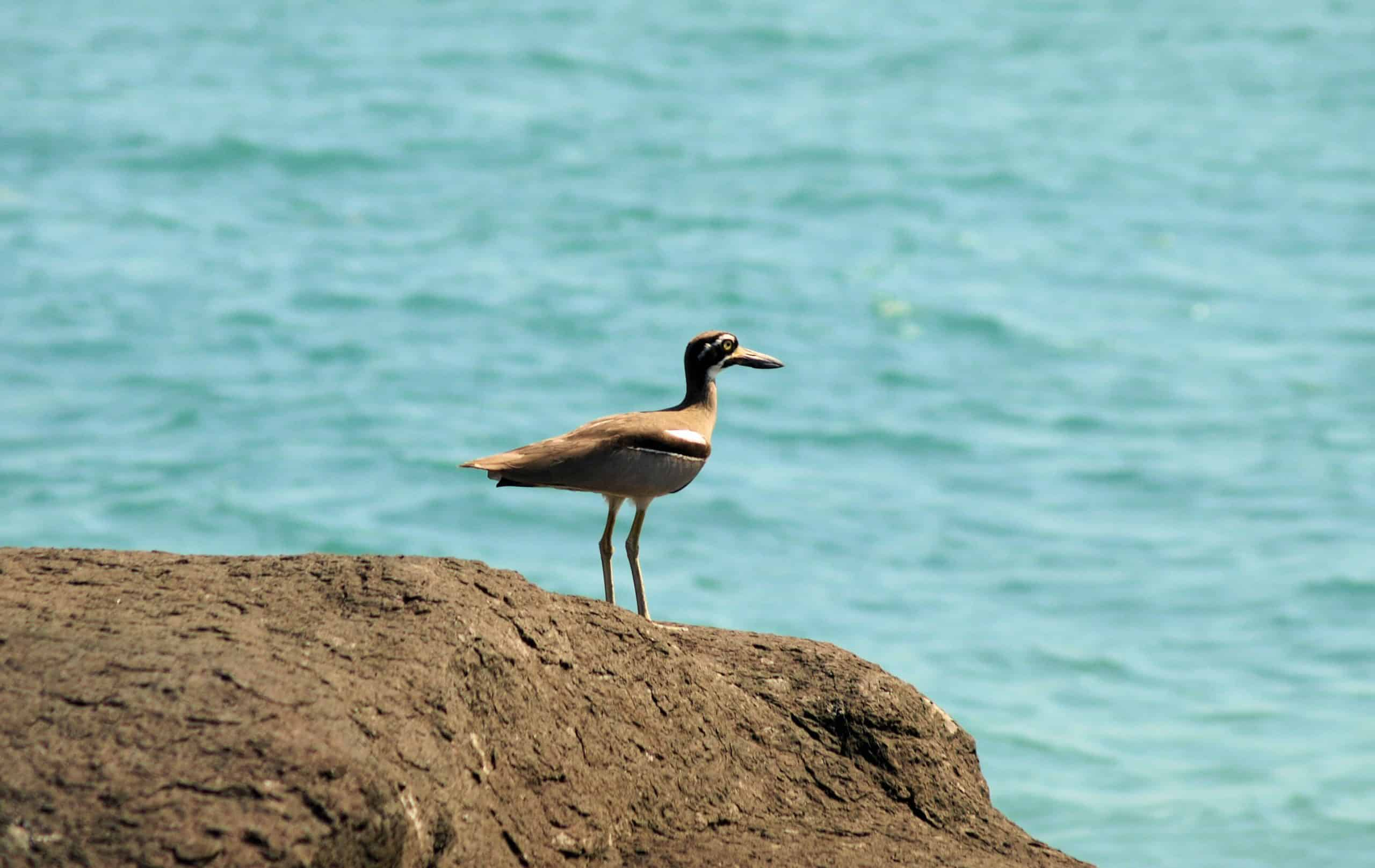 Beach Stone Curlew at Mongomery Reef with Coral Expeditions.