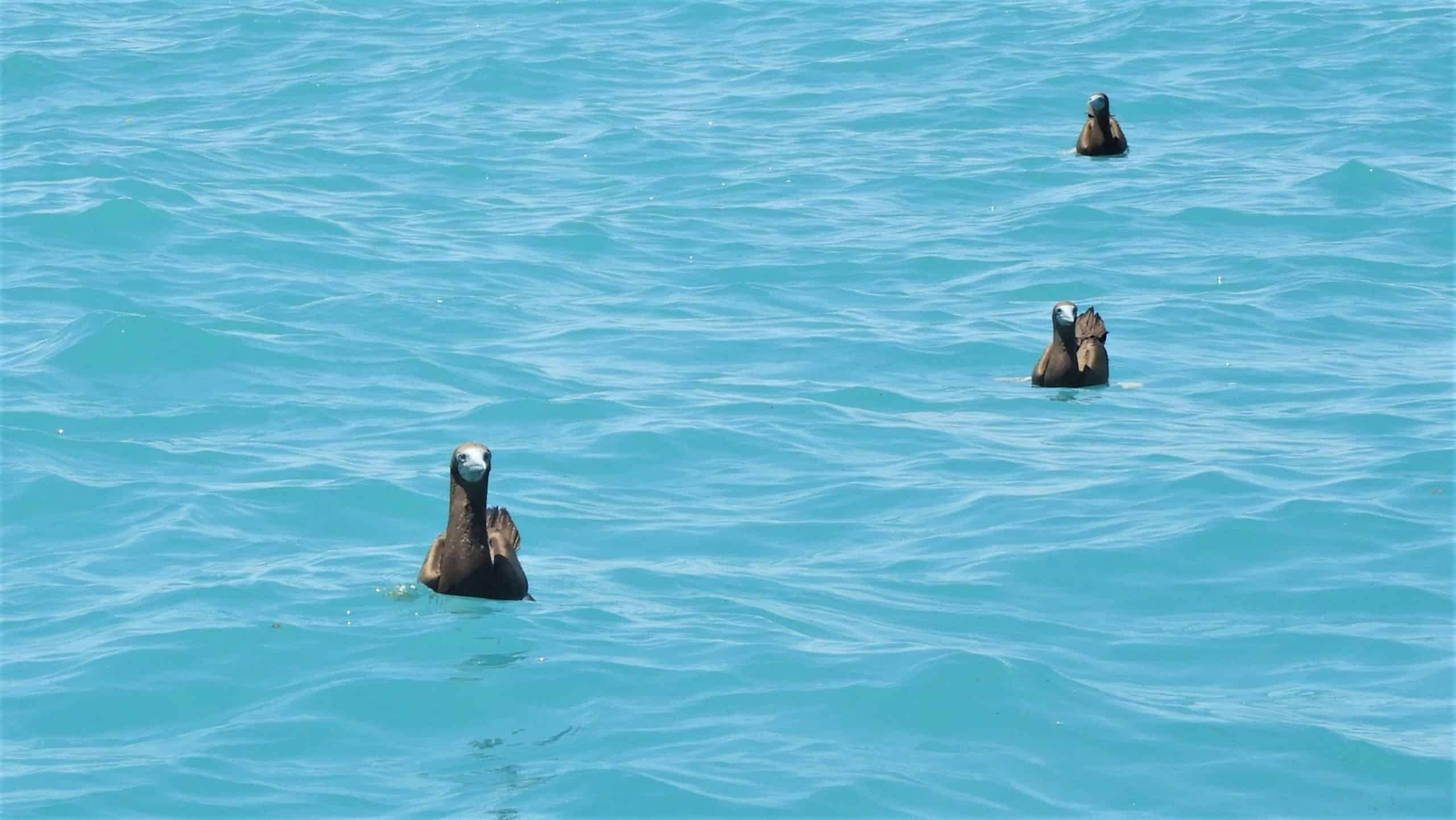 Brown Booby birds swimming at the Lacepede Islands. Coral Expeditions.