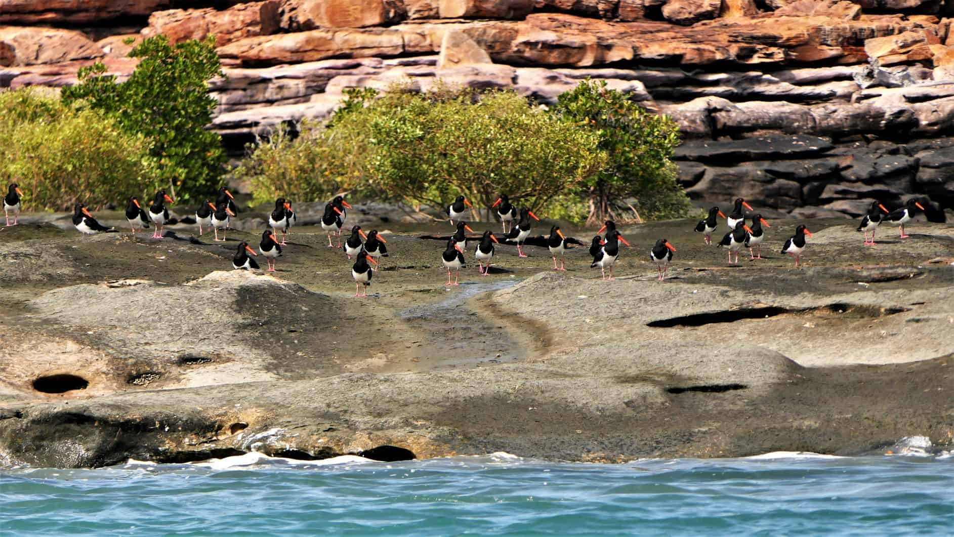 Pied Oystercatcher choir at the Warrabii West Art Site_Coral Expeditions.