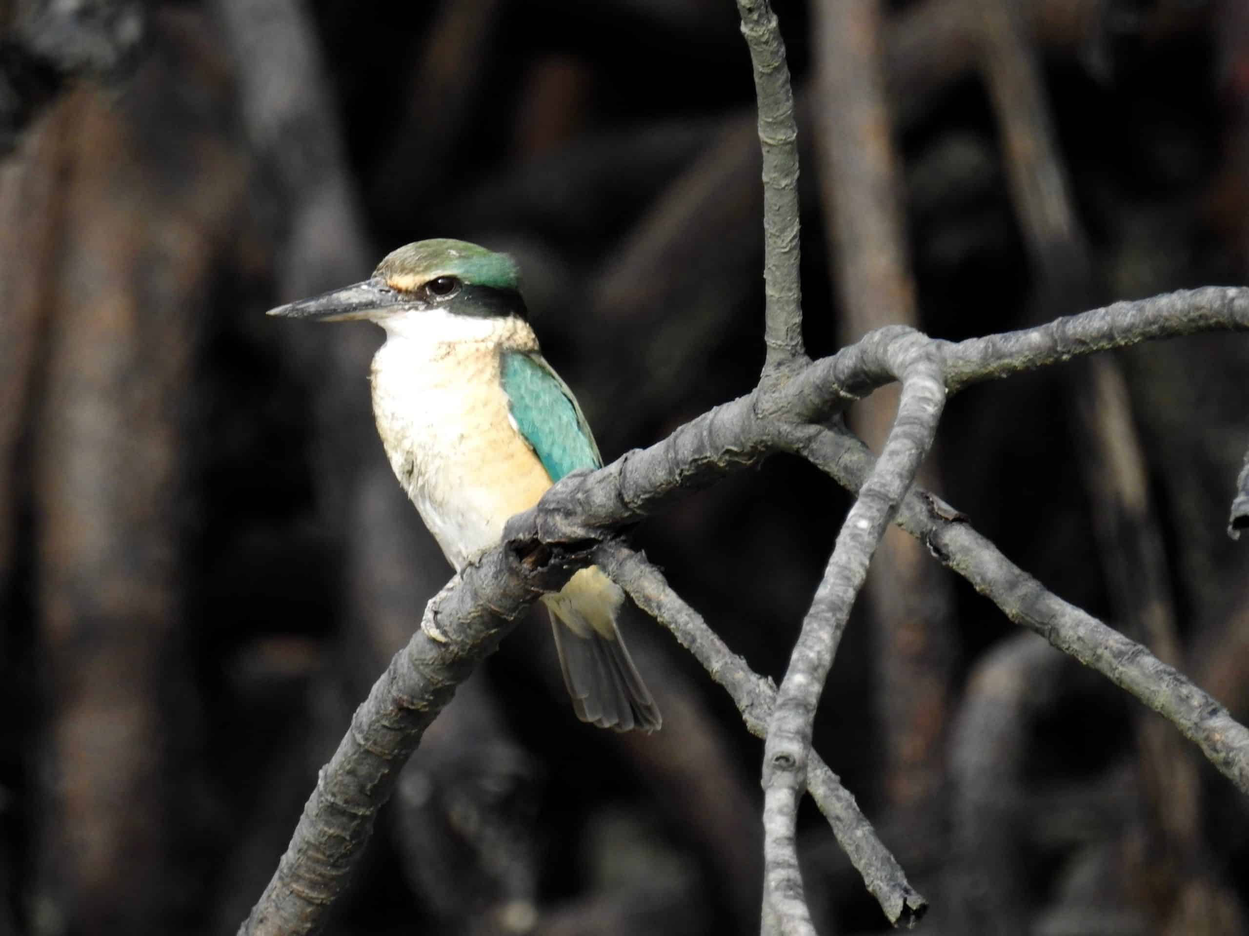 Sacred Kingfisher, Coral Expeditions.
