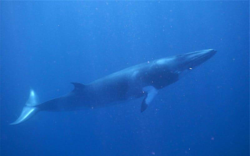 Minke Whales - Citizen Science Voyage